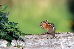 Chipmunk que come una baya. Fotografía de archivo libre de regalías