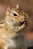 Chipmunk que llena sus mejillas. Fotos de archivo
