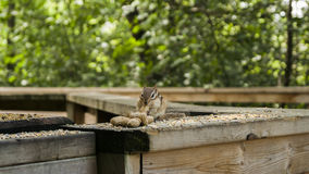Chipmunk on Rail Eating Nuts. Shot on the boardwalk in Cambridge Ontario Royalty Free Stock Photo