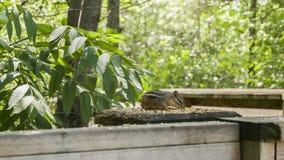 Chipmunk on Rail. Taken at Riverside Park Cambridge Ontario Canada Royalty Free Stock Photo