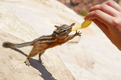 Chipmunk reaching out for a potato chip. Zion national park, USA royalty free stock image