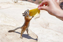 Chipmunk reaching out for a potato chip. Zion national park, USA stock photography