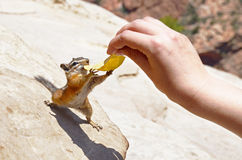 Chipmunk reaching out for a potato chip. Zion national park, USA stock photos