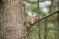 Chipmunk resting on a branch. Royalty Free Stock Image