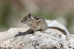 Chipmunk. Resting on a rock on a summer day Royalty Free Stock Photos