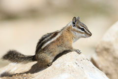 Chipmunk. Resting on a rock on a summer day stock photo