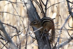 Chipmunk. This is a chipmunk resting on a tree Stock Photography