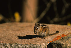 Chipmunk on Rock Stock Image