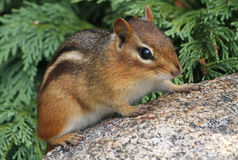 Chipmunk on a rock. Chipmunk sitting on a rock Stock Photos