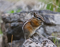 Chipmunk on a rock Stock Image