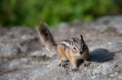 Chipmunk on Rock Royalty Free Stock Photography