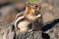 Chipmunk on a Rock Stock Photo
