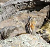 Chipmunk on rock Royalty Free Stock Images
