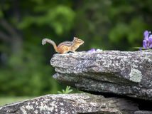 Chipmunk On Rock Royalty Free Stock Photos