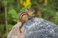 Chipmunk on a rock Royalty Free Stock Photo