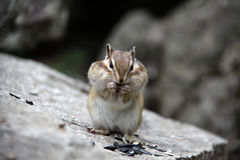 Chipmunk on a rock Royalty Free Stock Image