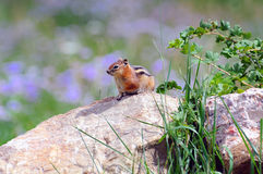Chipmunk on rock in meadow Stock Photo
