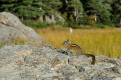 Chipmunk on Rock Stock Photography