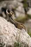 Chipmunk on rock stretching. Brown chipmunk on rock stretching in the sun Stock Image