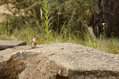 Chipmunk Rock Royalty Free Stock Photography