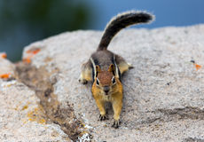 Chipmunk on a rock Royalty Free Stock Photos