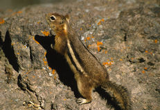 Chipmunk on Rocks Stock Images