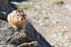 Chipmunk on the rocks. Cute chipmunk curiously looking out for food with lots of space for your text Royalty Free Stock Images