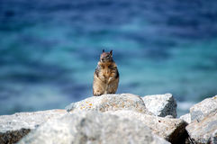 Chipmunk on rocks Royalty Free Stock Photography