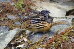 Chipmunk on the rocks Royalty Free Stock Photos
