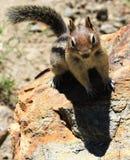 Chipmunk rocoso Fotografía de archivo