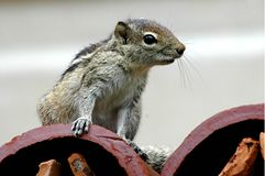 Chipmunk on roof Stock Images