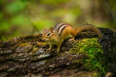 Chipmunk on rotted tree stock photos