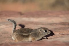 Chipmunk running across the desert royalty free stock photo