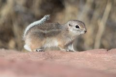 Chipmunk running across the red rock Stock Images