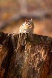 Chipmunk salvaje en registro Imagen de archivo libre de regalías