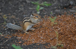 Chipmunk sauvage Photos stock