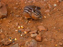 Chipmunk. A chipmunk scavenges for seeds among the rocks stock photography