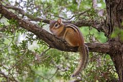 Chipmunk se reposant sur un branchement d'arbre photo libre de droits