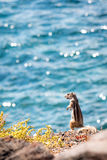 Ground squirrel by the sea. Ground squirrel standing on a cliff edge looking at the blue sea in background stock photography
