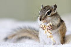 Chipmunk with seeds Royalty Free Stock Image
