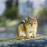 Chipmunk selvagem Imagem de Stock