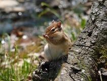 Chipmunk sibérien   Photographie stock libre de droits