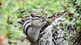Chipmunk Siberian (sibiricus do Tamias) video estoque
