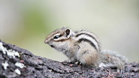 Chipmunk Siberian (sibiricus do Tamias) vídeos de arquivo