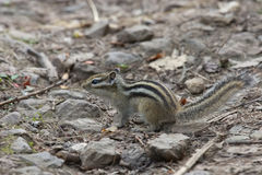 Chipmunk siberiano Immagine Stock