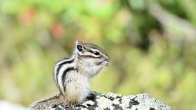 Chipmunk siberiano (sibiricus del Tamias) video d archivio