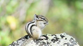 Chipmunk siberiano (sibiricus del Tamias) stock footage