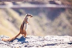 Chipmunk Silhouette Royalty Free Stock Photography
