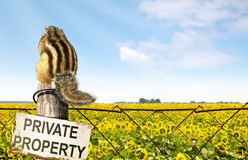 Chipmunk sits on a fence near sunflowers field Stock Image