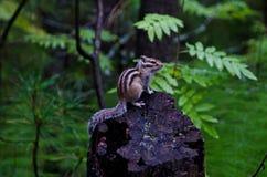 Chipmunk. The chipmunk sits on hemp Stock Image